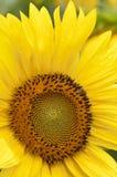 Sunflower in full bloom Stock Images