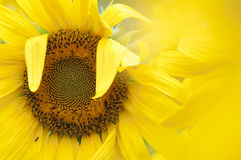 Sunflower in full bloom Stock Photography