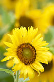 Sunflower in full bloom Royalty Free Stock Photo