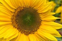 Sunflower. The sunflower in full bloom Royalty Free Stock Image