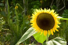 Sunflower in full bloom Royalty Free Stock Images