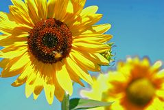 A sunflower in full bloom with a bumble bee. On a bright summer day, a happy and contented buzzing bee on the center section of this fully blooming flower in a Stock Photo