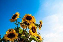 Sunflower in full bloom in field of sunflowers on a sunny day stock image