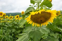 Sunflower blooming in front of sunflower field Royalty Free Stock Images