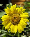 A sunflower in full bloom. Sun flower in bloom on a hot summer day in a rural area stock image