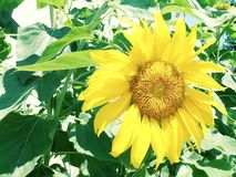 A sunflower in full sun morning royalty free stock images