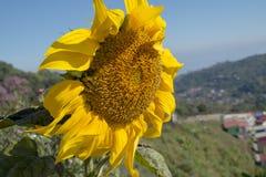 Sunflower. stock photos