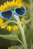 Sunflower with fun blue shaped sunglasses Stock Images