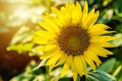 The sunflower gardan. In the morning sun Stock Image