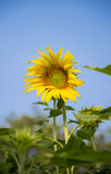 A Sunflower in the garden3 Stock Photography