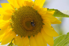 Sunflower in the garden Stock Photos