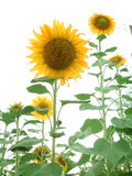 Sunflower Garden. Isolated in a white background. Grew these myself (I'm creative in more ways than one Stock Photo