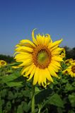 Sunflower. A Sunflower is in the garden Royalty Free Stock Image