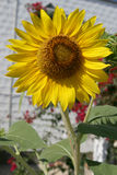 Sunflower and garden Royalty Free Stock Photography