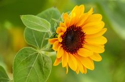 Sunflower. In garden Stock Photos