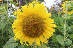Sunflower in garden. Stock Photos