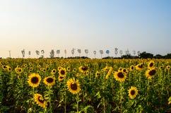 Sunflower Garden Stock Photography