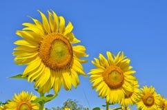 Sunflower garden Royalty Free Stock Images
