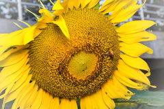 Sunflower in garden and bee Royalty Free Stock Photo