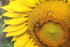 Sunflower in garden and bee Stock Photos