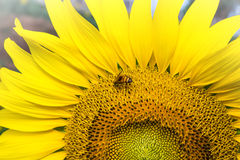 Sunflower in garden and bee Stock Image