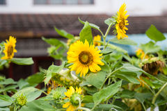 Sunflower. Garden blooming in a town Royalty Free Stock Images