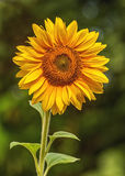 Sunflower in the garden Royalty Free Stock Photography