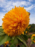 Sunflower in garden with blue sky and clouds background. Yellow sunflower in garden with blue sky and clouds background Stock Photos