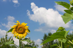 Sunflower in garden Royalty Free Stock Image