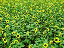 The sunflower garden Stock Photography