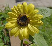 Sunflower in garden Royalty Free Stock Photography