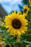 Sunflower in the garden closeup Royalty Free Stock Photography