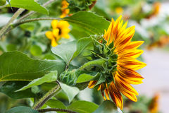 Sunflower in the garden closeup Stock Photo