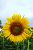Sunflower in the garden Royalty Free Stock Photos