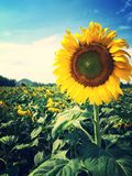 Sunflower. Garden face the sun in the afternoon Royalty Free Stock Photo