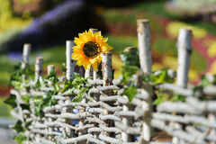 Sunflower in the garden. At the fence stock photo