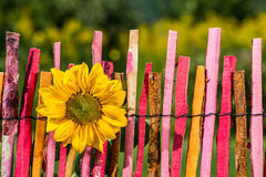 Sunflower on garden fence Stock Photo