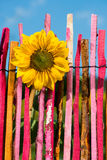 Sunflower on garden fence Royalty Free Stock Images