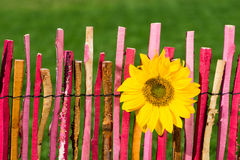 Sunflower on garden fence Royalty Free Stock Photos
