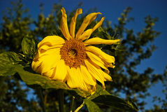 Sunflower in the garden Stock Photography