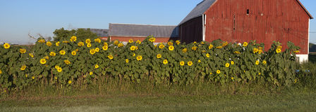 Sunflower Garden Panorama Barn Farm Panoramic. Sunflowers growing in a garden on a farm panorama. This panoramic banner scene is from Wisconsin USA. A red barn Royalty Free Stock Images