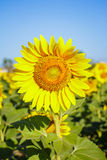 Sunflower in garden with sky background. royalty free stock images