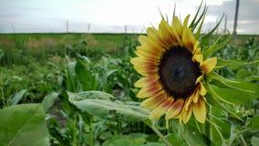 Sunflower in the garden. Sunflower smiling in the garden Stock Photo