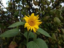 Sunflower in the garden royalty free stock photo