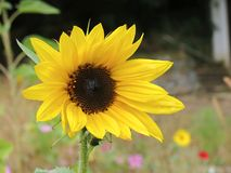 Sunflower in a garden. Sunflower in a summer garden Stock Images