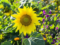 Sunflower in a garden Royalty Free Stock Photo