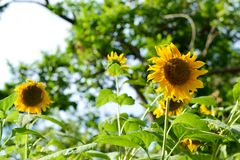 Sunflower in the garden. On sunny day Royalty Free Stock Images