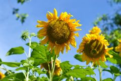 Sunflower in the garden. On sunny day Stock Photos