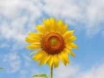 Sunflower in garden. Stock Photo