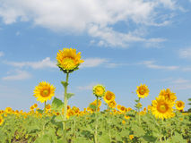 Sunflower in garden. stock photos